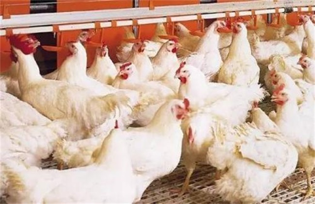 产肉好的肉鸡品种有哪些