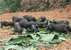 养10头香猪一年能赚多少钱