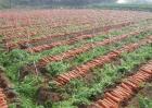 怎样提高胡萝卜的产量