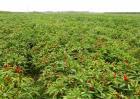 朝天椒种植技术