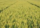 种一亩小麦的利润