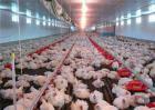 如何养殖肉鸡