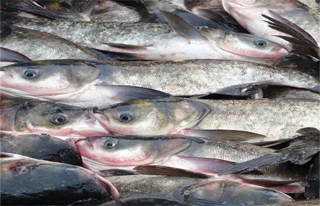 鲢鱼养殖的注意事项