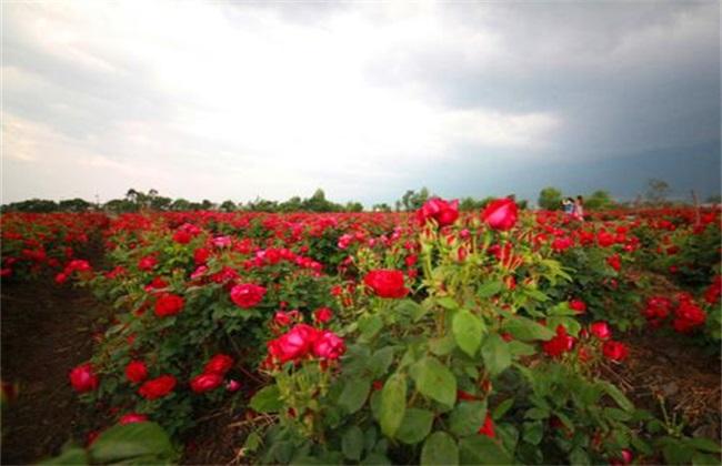 种植一亩玫瑰花的利润