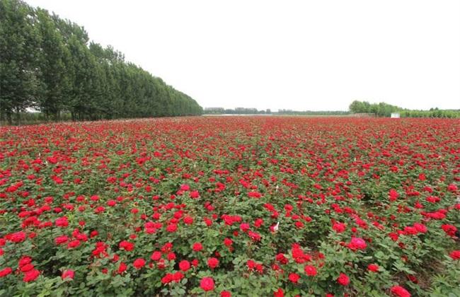 种一亩玫瑰花 利润 成本 风险