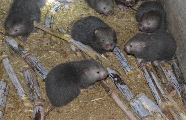 养100只竹鼠一年的利润