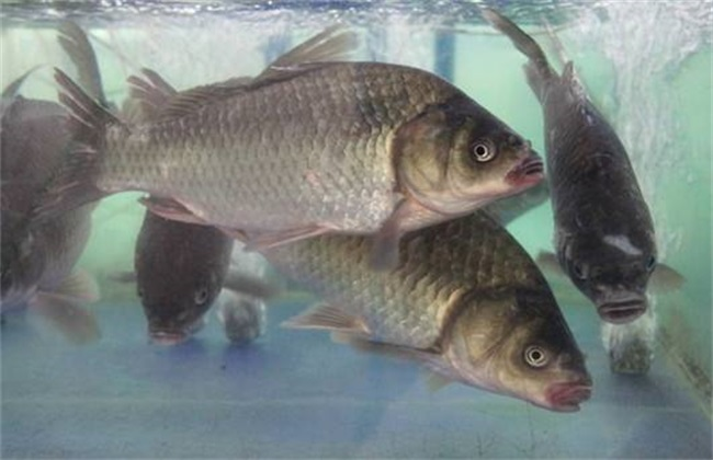 养殖一亩罗非鱼成本多少