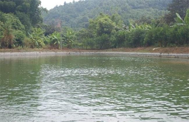 罗非鱼 养殖模式 池塘 稻田