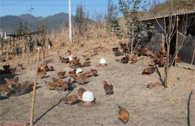 养500只鸡需要投资多少