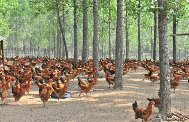 养500只鸡 投资 利润 分析