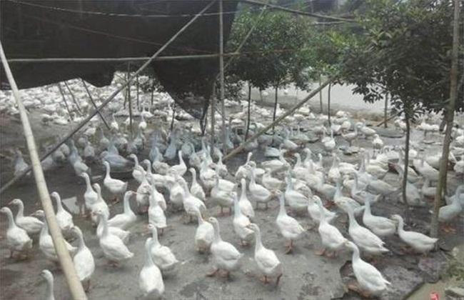 养500只鹅 投资 利润 注意事项