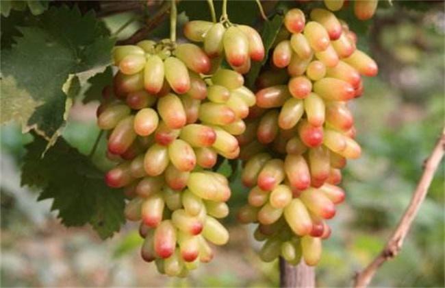 美人指葡萄多少钱一斤