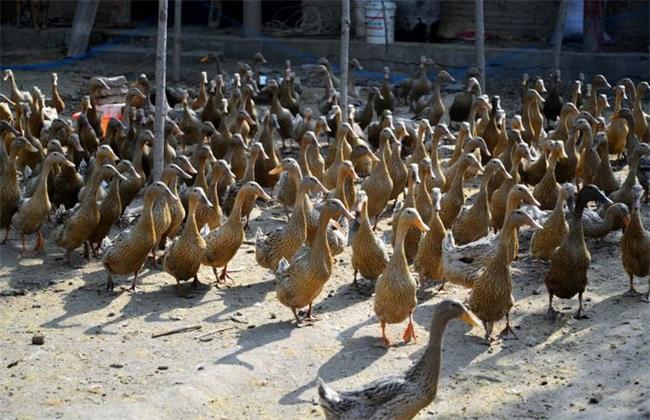 养500只鸭子利润多少