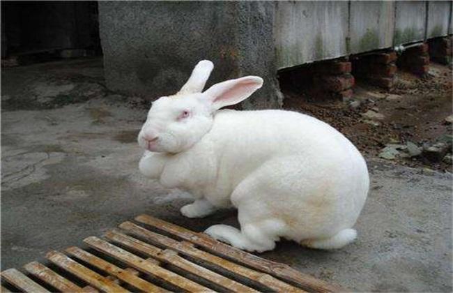 养10只獭兔一年利润