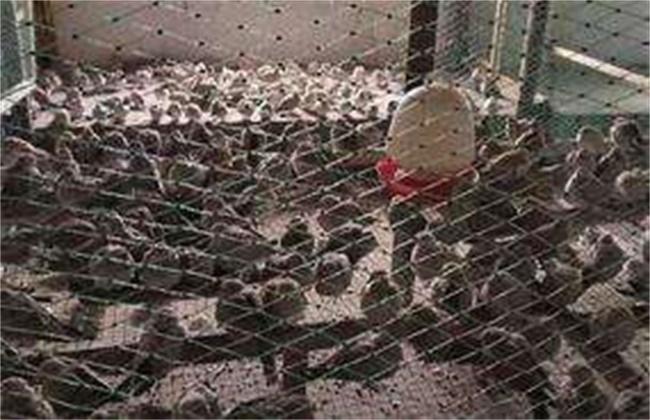 斑鸠养殖技术