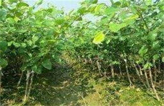 拐枣树苗多少钱一棵