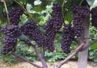 夏黑葡萄种植管理技术