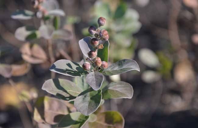 蔓荆子 价格多少一斤 种植前景