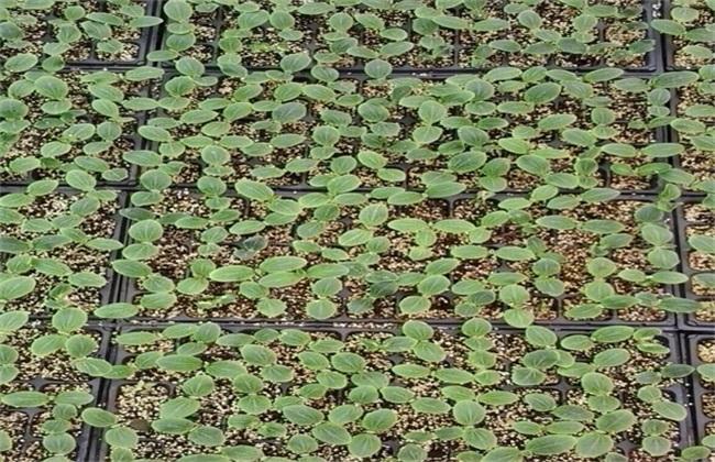 黄瓜的栽培技术要点