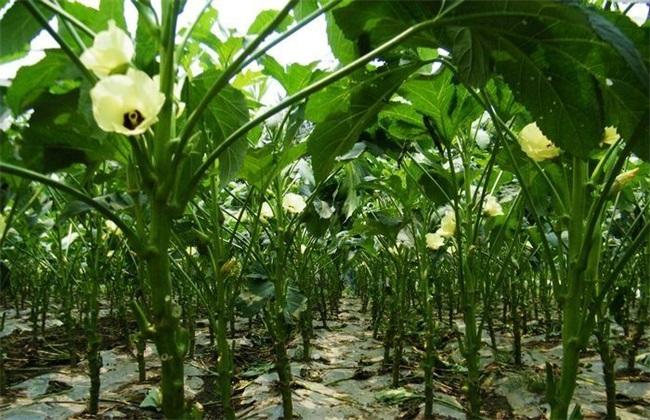 秋葵 采收方法 时间 保存 留种