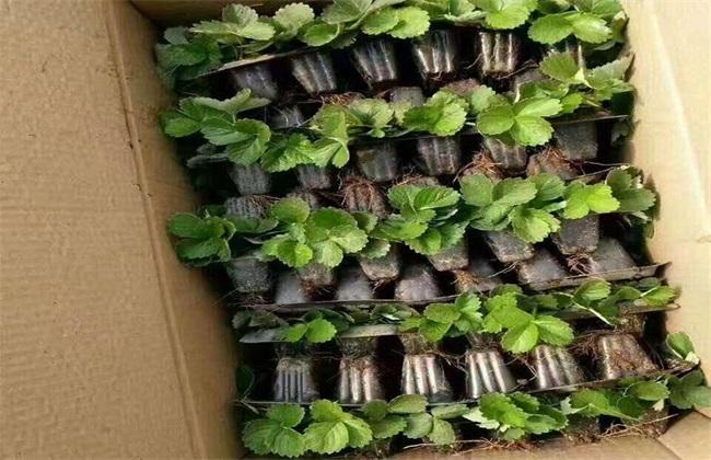 盆栽草莓的种植管理技术