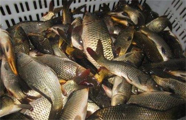 一亩地鲤鱼养殖利润