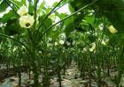 秋葵的采收方法及保存