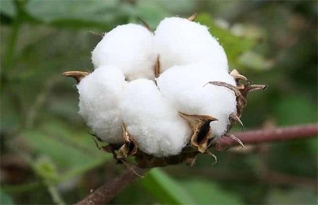 种10亩棉花 投资多少钱 利润