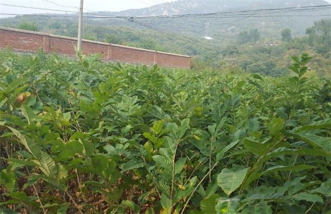 板栗种子 育苗技术 采种贮藏