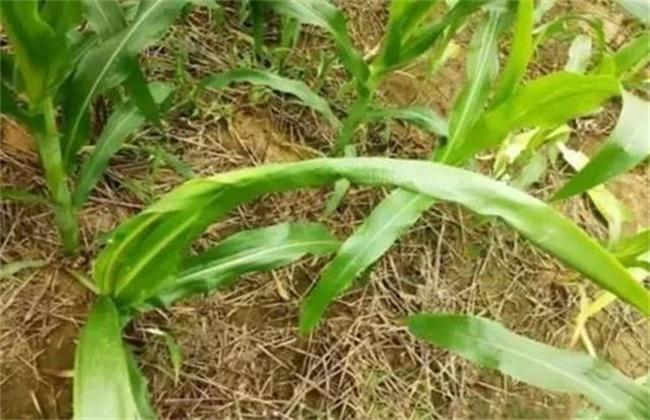 玉米心叶打卷怎么办