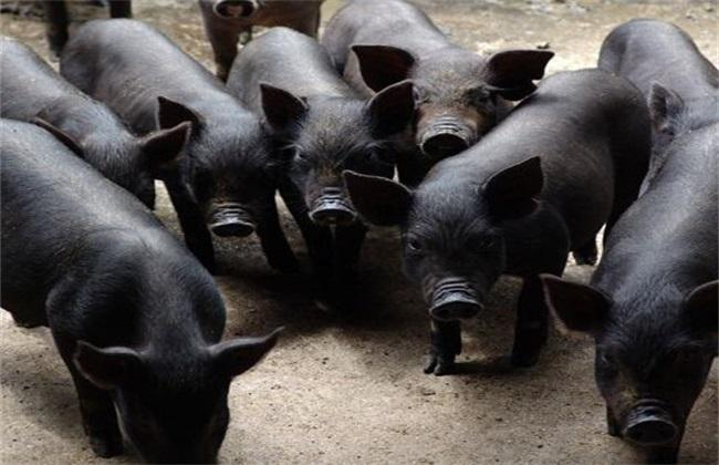 怎么养殖黑猪