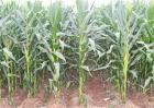 玉米不抽雄穗原因及防治措施