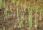 种一亩芦笋投资多少钱