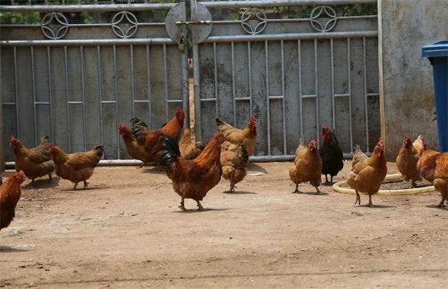 如何养鸡 赚钱 鸡舍 饲喂 鸡苗