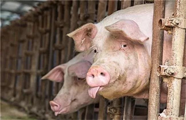夏季猪场防暑降温措施