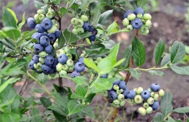 蓝莓高产栽培技术