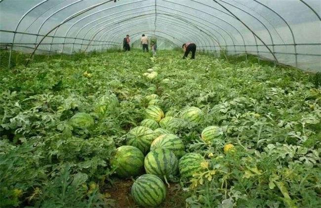 种10亩西瓜能赚多少钱
