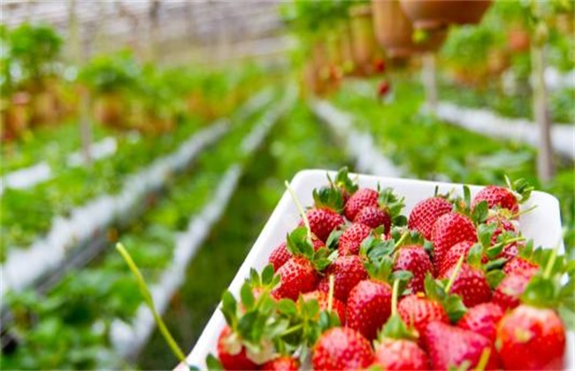 10亩草莓投资多少