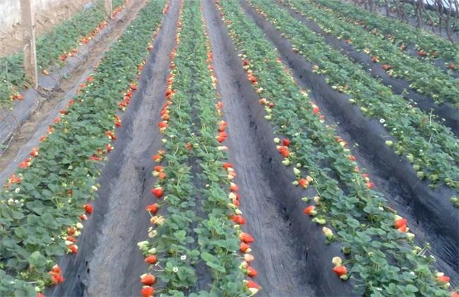 10亩草莓 投资多少 多少利润