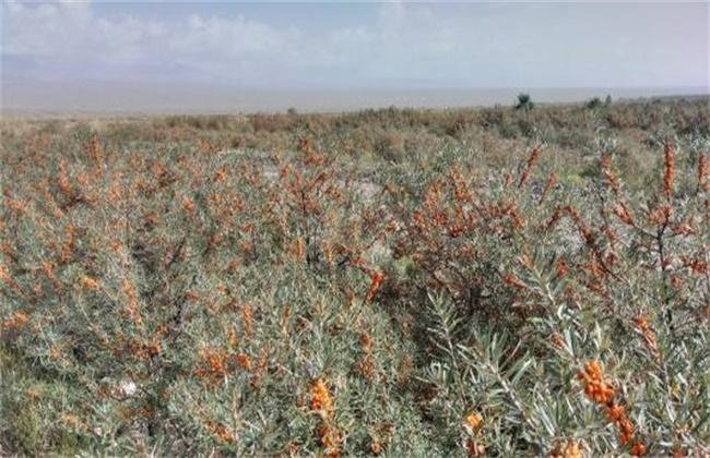 沙棘果种植技术