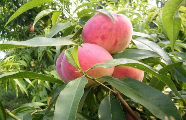10亩桃树一年利润多少
