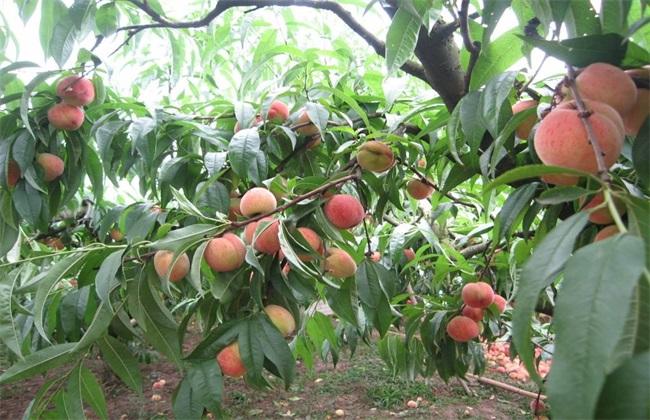 10亩桃树一年 利润 成本