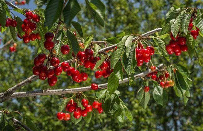 10亩樱桃需要投资多少