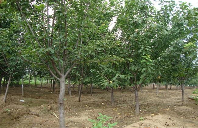10亩樱桃 投资多少 利润