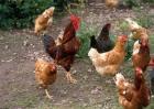 如何养鸡才赚钱