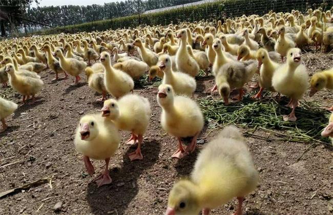 春季养鹅常见疾病防控方法