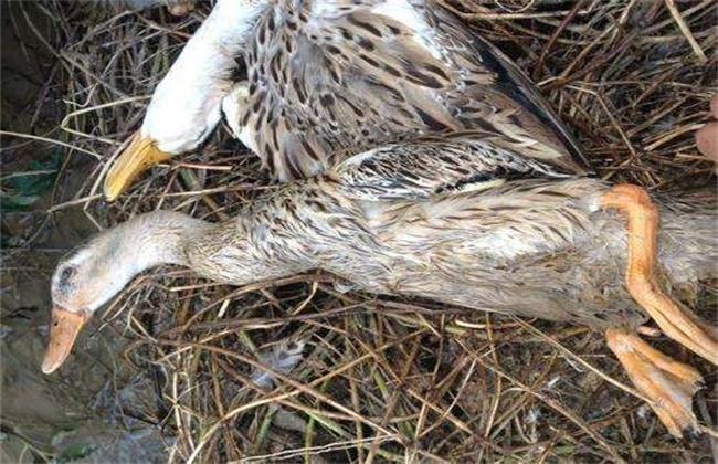 蛋鸭软腿病原因及防治措施