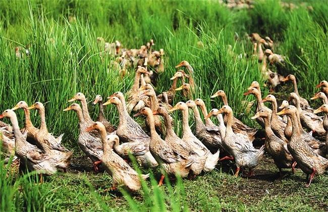 鸭中暑症状及防治方法