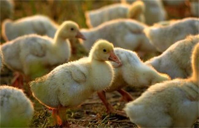 雏鹅互相啄毛原因及解决方法