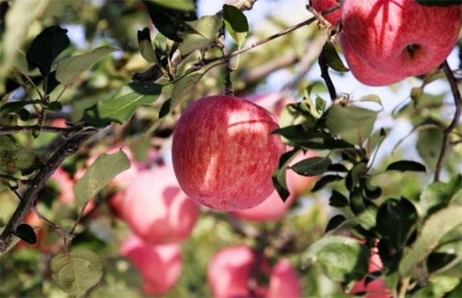 苹果的采收与储存